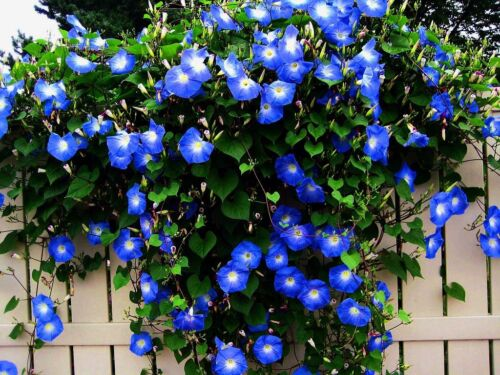 MINA Sweet Pea COBAEA Bean MORNING GLORY Details about  /CLIMBING FLOWERS MIX 3gr SEEDS