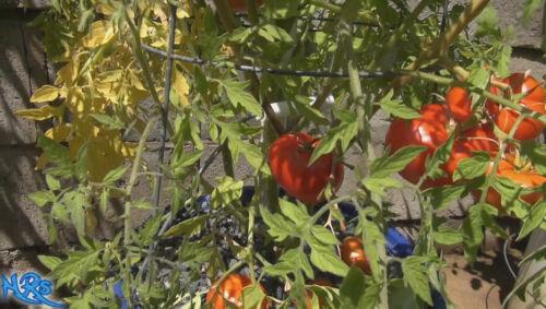 Details about  /Silvery Fir TomatoSolanum lycopersicum10 seeds HRSeeds.com