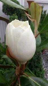 Magnolia grandiflora Ferruginea 120cm, immergrüne Magnolie