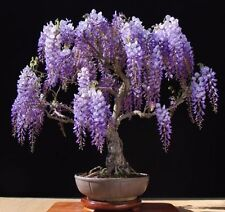 Purple Chinese Wisteria sinensis 5 seeds* ez grow * bonsai * Fragrant CombSH J11