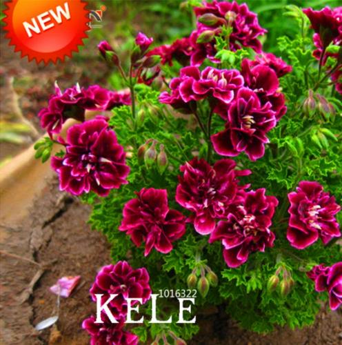 50 PCS Seeds Geranium Flowers Perennial Fleur Graine Pelargonium Peltatum Plants