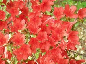 10-RED-CUMBERLAND-AZALEA-Rhododendron-Cumberlandense-Bush-Shrub-Flower-Seeds