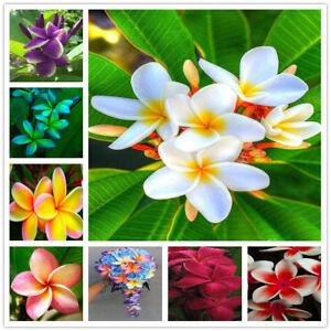 100pcs Plumeria Hawaiian Foam Frangipani Flower Seeds For Wedding Party Decor