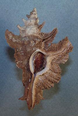 Reasonable Murex Acanthopterus 67.98mm Beautiful Specimen Port Hedland Rocks, Fossils & Minerals Western Australia Collectibles