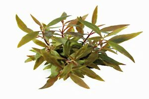 Site Officiel L'eau Plante Alternanthera Reineckii Mini In Vitro-afficher Le Titre D'origine