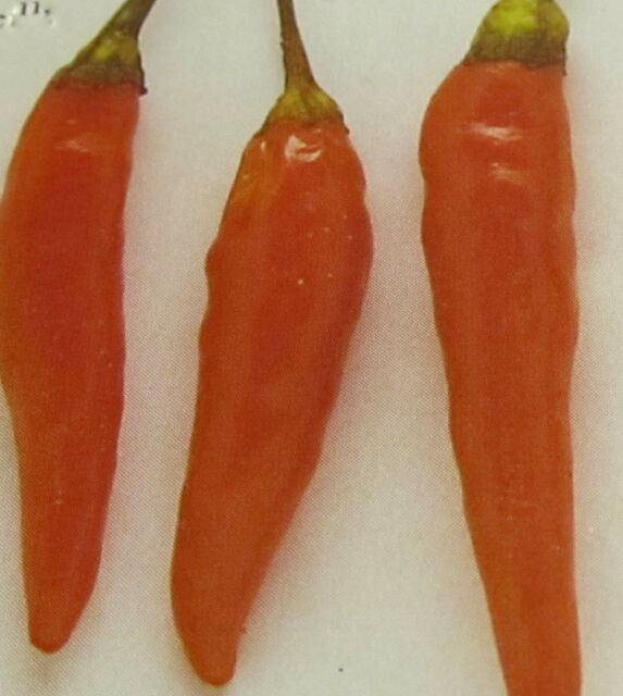 VEGETABLE  HOT CHILLI PEPPER ORANGE CAYENNE  100 FINEST SEEDS