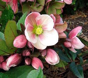 15 christmas rose helleborus perennial shade perennial winter image is loading 15 christmas rose helleborus perennial shade perennial winter mightylinksfo