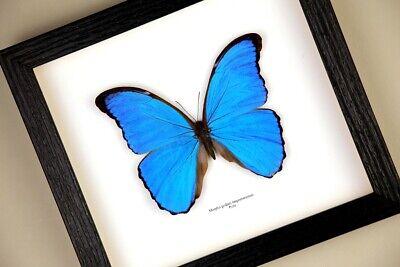 didius ,décoration,cadeau,,taxidermie Cadre Véritable Papillon Morpho godarti