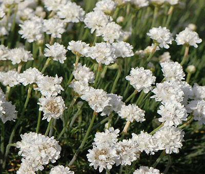 Othonna alba WHITE flower small pickle leaf succulent 8 SEEDS