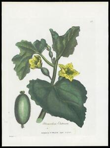 1790-ORIGINAL-ANTIQUE-PRINT-MOMORDICA-ELATERIUM-Cucumber-Squirt-BOTANICAL-43