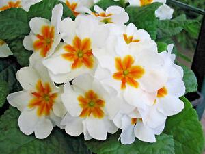 Primrose-Mini-Plug-Plants-x-15-Primula-vulgaris-039-Cabaret-White-039-Perennials