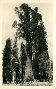 Real-Photo-Postcard-General-Sherman-Tree-Sequoia-National-Park-California-1950