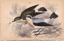 WHEATEAR JARDINE NATURALIST'S LIBRARY VINTAGE BIRD BOOK PRINT PLATE 5