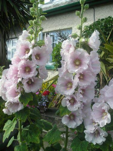 Hollyhock Alcea seeds x 30 Ice Pink mix Hardy Border Perennial seeds