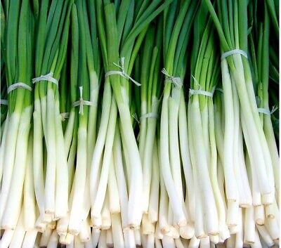 200//1200 Graines OIGNON GROS BLANC DOUX ESPAGNE Potager Légumes Plantes