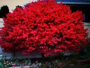 Burning Bush Seeds Hand Picked Shrubs Bushes Hedges You
