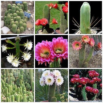 100 Semi In Miscuglio Di Trichocereus Mix ,piante Grasse,seed Cactus Mix