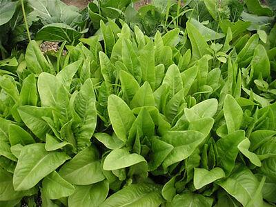 LETTUCE 'Amish Deer Tongue' 100 seeds vegetable garden salad Heirloom