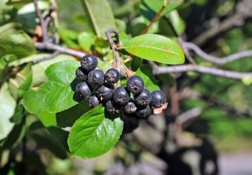 Im Herbst lieben die Vögel und Menschen die vitaminreichen Aronia-Beeren !