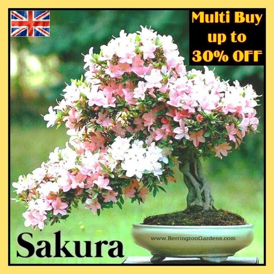 ☆Cherry Blossom, Sakura Tree 10x Seeds (Prunus Serrulata) Bonsai Subject UK