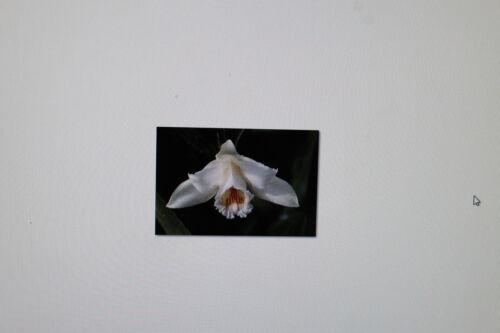 orchidée 20 graines sobralia klotzscheana # 101