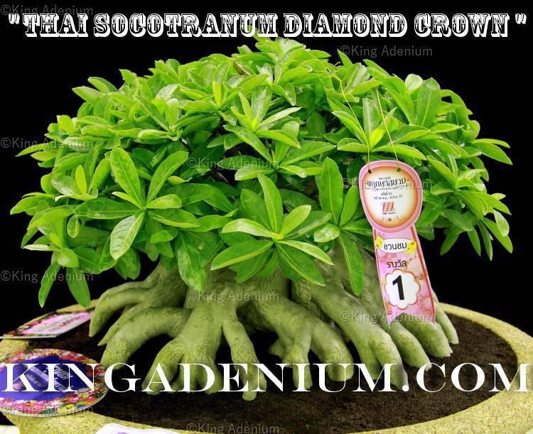 Adenium Thai socotranum  Diamond Crown  100 Semillas frescas Raro Ideal Para Bonsai