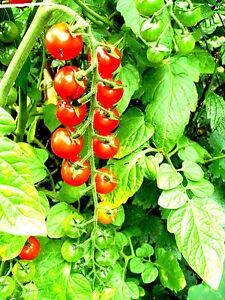 TOMATE-034-Rosinentomate-034-Cocktail-Tomate-langen-Rispen-suess-trocknet-wie-Rosine