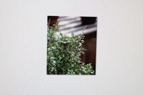 Ocimum Sanctum #247 Basilic Indien 10 graines Tusli