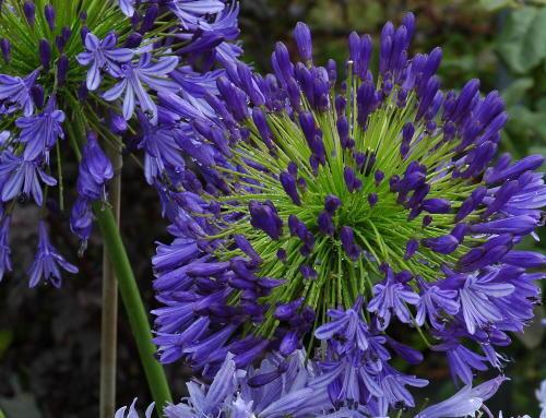 3 Agapanthus REGAL Beauty Deep Violet Fleurs Bleues Excellent Plante De Jardin