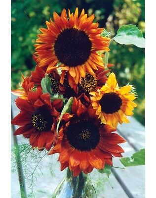FLOWER SUNFLOWER EARTHWALKER 75 FINEST SEEDS