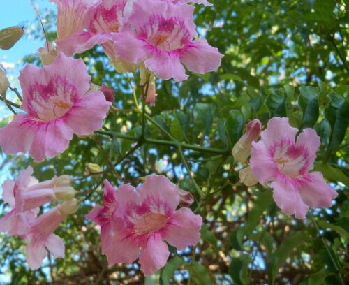 Trompetenblume  Podranea ricasoliana  5 Steckhölzer Bewurzelungsaktivator