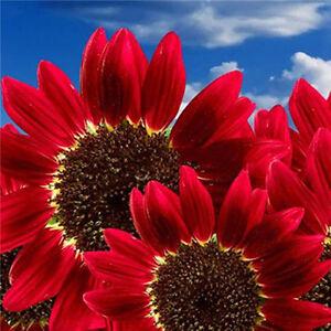 15-Samen-Rot-Sonnenblume-Abendrot-Abendsonnen-HELIANTHUS-ANNUUS-Red-Sonn