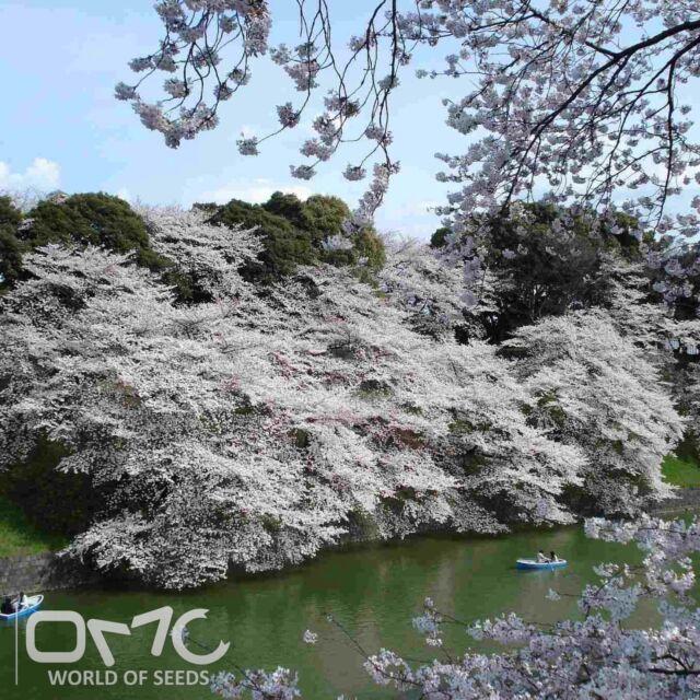 MOUNTAIN WHITE SAKURA (Prunus Serrulata) 10+EXTRA seeds (#31)