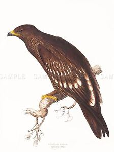 PAINTING-BIRDS-GOULD-LEAR-SPOTTED-EAGLE-ART-PRINT-POSTER-LAH554A