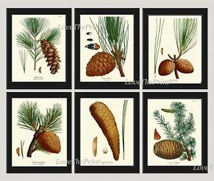 Unframed Botanical Print Set of 6 Antique Pinecone Pine Cone Tree Wall Art Decor