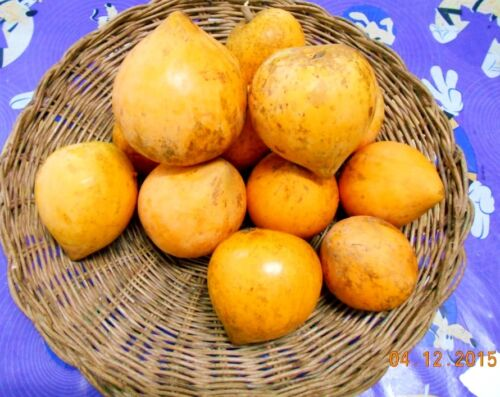 5 Graines Sweet eggfruit Chesa CANISTEL TIESA Pouteria campechia * oncle CHAN