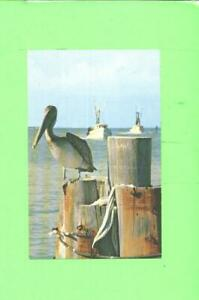 F-POSTCARD-PELICAN-ENJOYING-THE-SUN-AND-WATERWAYS-FLORIDA