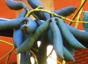 exotisches-Saatgut-Garten-immergruene-Pflanze-frosthart-Exot-BLAUGURKE