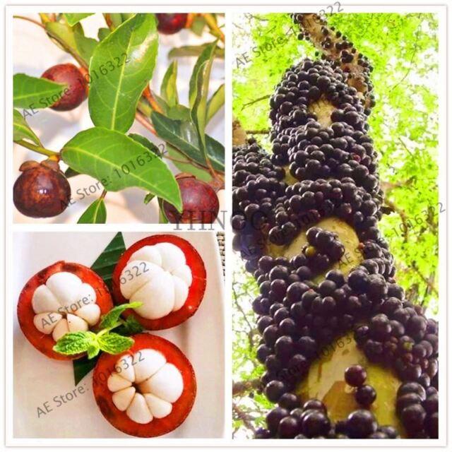 10pcs/bag mangosteen fruit Mangoes seeds Organic heirloom fruit tree seed  Nutrie
