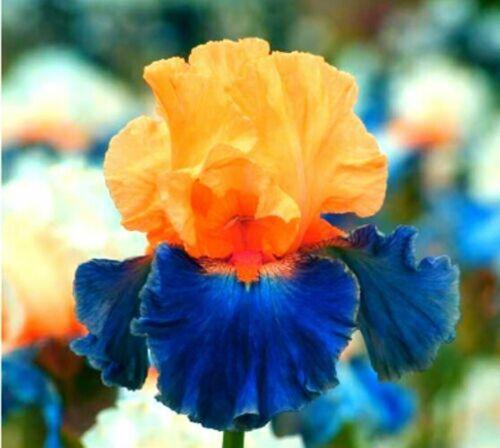 2 Iris Bulbs Tall Bearded Perennial Resistant Bonsai Rhizomes Flower Rare Plant