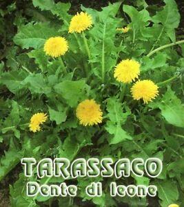 300-SEMI-DI-TARASSACO-O-DENTE-DI-LEONETaraxacum-officinalis-Dandelion-seeds