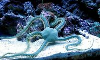''aqm'' Green Death Serpent Starfish, Live Corals, Acan, Reef, Frags, Brains
