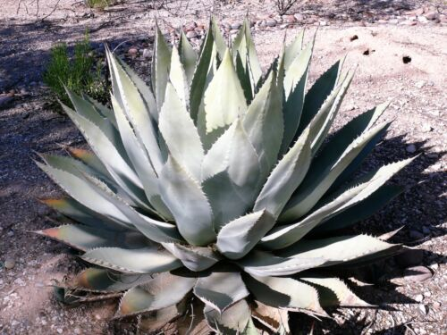 5  ARTICHOKE AGAVE Parry/'s Huachuca Parryi Huachucensis Succulent Cactus Seeds
