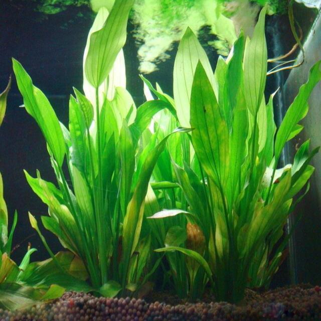 Echinodorus Künstliche Aquarium Pflanze Wasserpflanzen Terrariumpflanze~