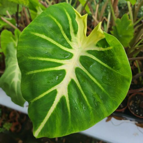 Aroid lover yum live Tropical plant~ USA SELLER Colocasia White Lava