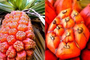Pandanus-Furcatus-Himalayan-Screw-Pine-Tree-3-Fresh-Seeds-Rare