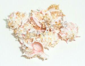 """#JC-41 3 pcs Pink Murex Phyllonotus erythrostomu Hermit Crab Sea Shell 3 1//2-4/"""""""