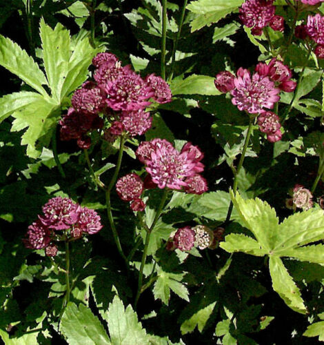 Rotblühende sterndolde-Astrantia Carniolica