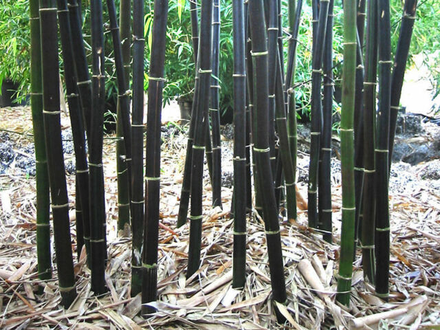 Rare Fresh Black Bamboo Seeds Phyllostachys Nigra 100 Ships From Usa