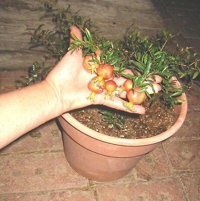 Dwarf-Pomegranate-Dwarf-Bonsai-Punica-Granatum-Nana-edible-sweet-6-fresh-seeds
